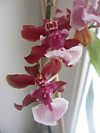 Oncidium Sharry Baby (Mirka_Z)