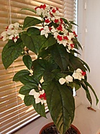 clerodendrum (bomila)