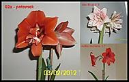 výška stvolu 30 cm, průměr květu 14 cm (Karen Válková)