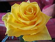 Krása růže (Neregistrovaný)