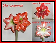 výška stvolu 30 cm, průměr květu 13 cm (Karen Válková)
