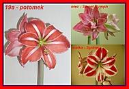 výška stvolu 24 cm, průměr květu 14 cm (Karen Válková)