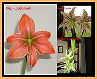 výška stvolu 25 cm, průměr květu 11 cm (Karen Válková)