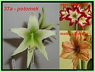 výška stvolu 16 cm, průměr květu 8 cm (Karen Válková)