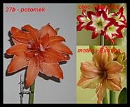 výška stvolu 29 cm, průměr květu 17 cm (Karen Válková)