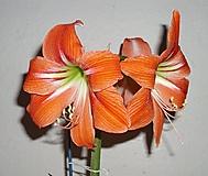 neznámý amaryllis (Karen Válková)