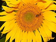 slunečnice (Neregistrovaný)