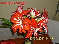 výška stvolu 29 cm, květ 19 x 19 cm (Karen Válková)