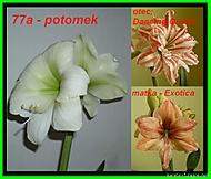 výška stvolu 25 cm, průměr květu 14,5 (Karen Válková)