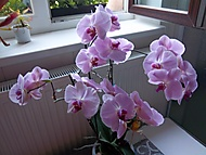 orchideje (Neregistrovaný)