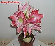 výška stvolu 20cm, květ 22 cm (Karen Válková)