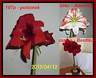 výška stvolu 22 cm, průměr květu 17 cm (Karen Válková)