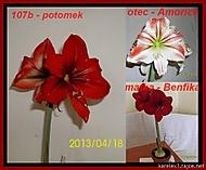výška stvolu 25 cm, průměr květu 15 cm (Karen Válková)
