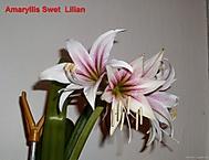stvol 32 cm, květ 13 cm (Karen Válková)