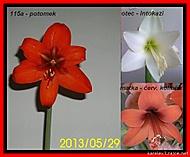 výška stvolu 30 cm , květ 17 cm (Karen Válková)