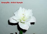 .stvol 17 cm, květ 14 cm. (Karen Válková)