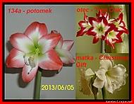 výška stvolu 21 cm, průměr květu 12 cm (Karen Válková)