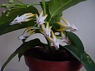 Hoya multiflora (Neregistrovaný)