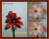 výška stvolu 19 cm, květ 9 cm (Karen Válková)