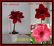 výška stvolu 15 cm, květ 8 cm (Karen Válková)