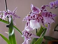 Barvy_orchidej_0061 (klivie)