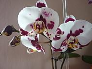 Barvy_orchidej_0081 (klivie)