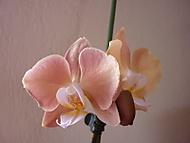 Barvy_orchidej_009 (klivie)