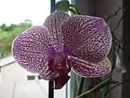 Barvy_orchidej_034 (klivie)