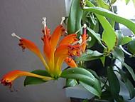 Barvy_orchidej_0441 (klivie)