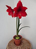 Červený (Anor)
