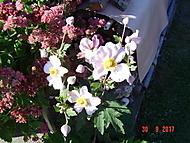 Japonská sasanka (Neregistrovaný)