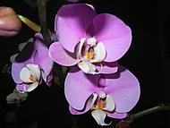 Nová orchidej. (Evouš)