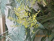 mimosa (janka56)