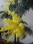 mimosa v plné kráse (janka56)