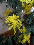 mimosa rozkvetla i v našich podminkách (janka56)