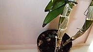 Dendrobium-skvrny na listech (honza70)