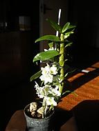 Kvetoucí Dendrobium nobile (honza70)