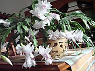 Vánoční kaktus (Neregistrovaný)