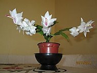 vánoční bílý kaktus (Neregistrovaný)