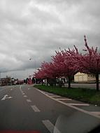 Sakura (Neregistrovaný)