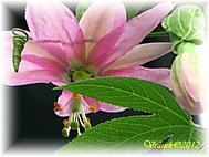 Passiflora mollissima (Mucenkar)