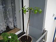 Bouganvilea řízkovaná v roce 2011 (bouga)