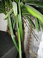 kvetoucí orchidej (Neregistrovaný)