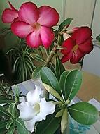 u� kvetou dv� adenka... (rajsa)