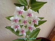 Hoya bella (Sarlote)