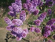 Květen - čas šeříků... (Neregistrovaný)