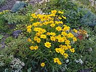 Krásnoočko žluté (Neregistrovaný)