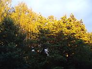 Zlaté koruny stromů (Neregistrovaný)