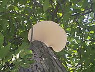 Choroš na ořešáku (Neregistrovaný)