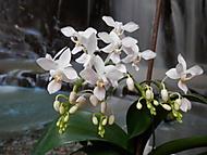 Phalaenopsis eguestris alba (Moravanda)